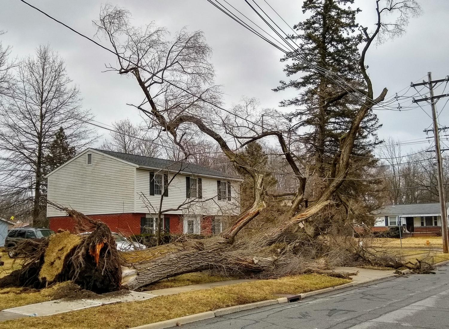 This tree on the corner of Edison Street and Pleasant Street was one of many uprooted during last Sunday's wind storm.